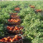 اعتراض کشاورزان چنارانی به قیمت پایین گوجه فرنگی