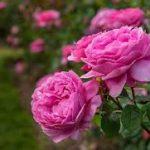 شهردار منطقه چهار مشهد خبر داد؛ کاشت بیش از ۸۸ هزار بوته گل فصلی پاییزه در منطقه ۴