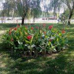 کاشت ۱۴۰ هزار بوته گل اختر در ۱۳۱ محور سطح شهر مشهد