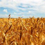 ۴۱۱ تن گندم به صورت تضمینی در خراسان رضوی خریداری شد/ نگرانی کمبود کالاهای اساسی نداریم!